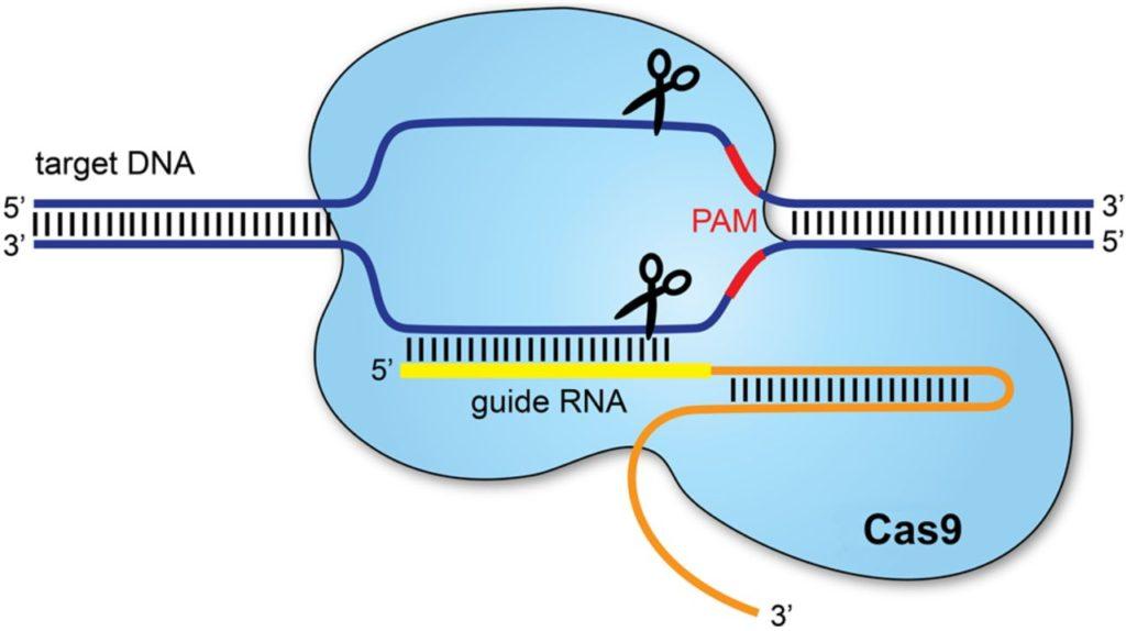 """Il metodo CRISPR, detto anche """"taglia e cuci""""."""